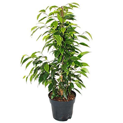 Exotenherz - Ficus benjamini'Anastasia'...