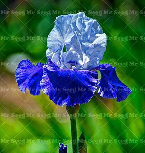 GETSO 20Pcs Iris Blume Bonsai Pflanze Blume palnt Tectorum Staudenblume Orchidee Pflanzen selten Hausgarten Innenpflanz Blüte: 17