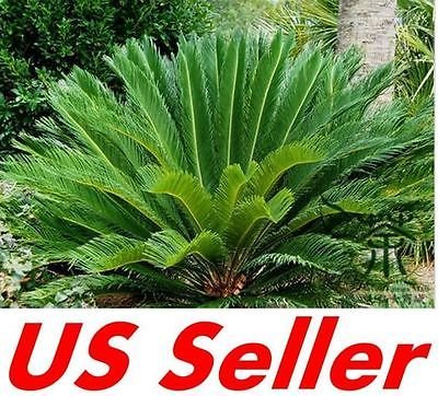 1 PC Roi Sago Palm Trees Seed T19, Cycas semences forestières jardinage
