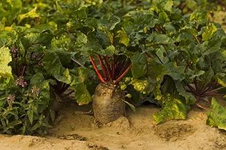 2Lb Sugar Beet Food Plot 20,000 Seeds bulk Excellent Deer Food Plot