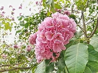 5 Seeds Pink Trumpet Tree Poui Ornamental Tropical Bright Coral Flower Clusters Tolerant of Salt Spray Good Coastal Gardens Tabebuia rosea by Alyf Market