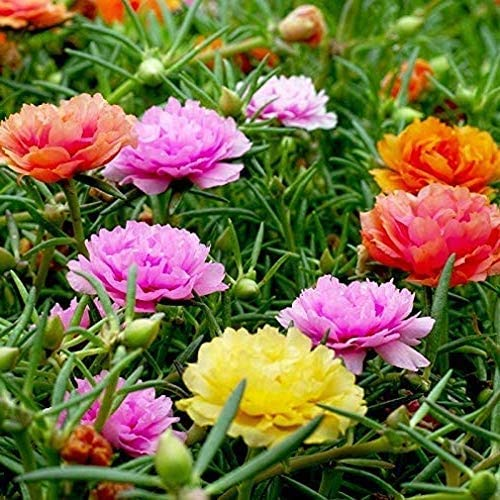 Mixed Color Moss-Rose Purslane Double Flower Seeds 100+ Portulaca grandiflora Moss Rose Ground Cover Plant