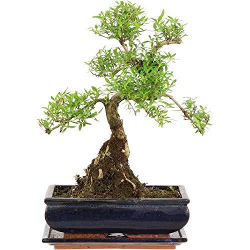 Junischnee, Bonsai, 11 Jahre, 37cm