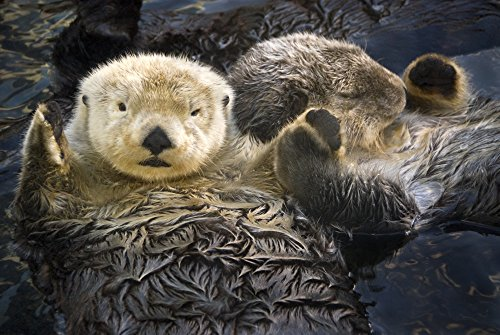 Tom Soucek/Design Pics – Captive Two Sea Otters Holding Paws at Vancouver Aquarium In Vancouver British Columbia Canada Captive Photo Print (86,36 x 55,88 cm)