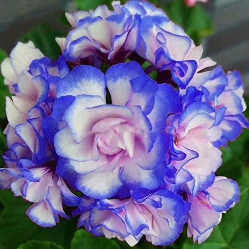 Nueva azules y rosas La plantación de geranios Semillas De Flores Raras doble Cplor jardín de 50 PC * bolsa de semillas Pelargonium barato Bonsai
