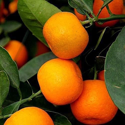 20 Stück Orangenbaum Samen Garten Innenbalkon Topf Bonsai Zwerg Obstpflanzen Hübsche Pant Samen 20St