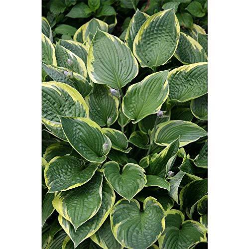 Hosta x undulata 'Mediovariegata' - Mehrfarbige Wellblatt-Garten-Funkie 'Mediovariegata' - 11cm Topf
