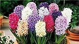 Keland Garten - Hyazinthen Phantasie Mischung Blumensamen duftend farbenfroh Gartenpflanzen, Topfpflanzen