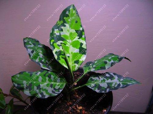 50 pcs/sac AGLAONEMA « Pink Dud », belles plantes Mosaic graines de fleurs vivaces arbres à feuilles persistantes, jardin: plantes d'intérieur en pot