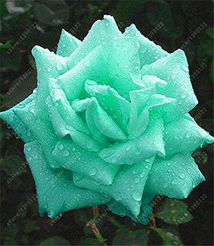200pcs / sac rare graines rose multi-couleur rose graines de fleurs bonsaï graines bonsaïs noir rose plante rare balcon pour le jardin à la maison 23 mis en pot