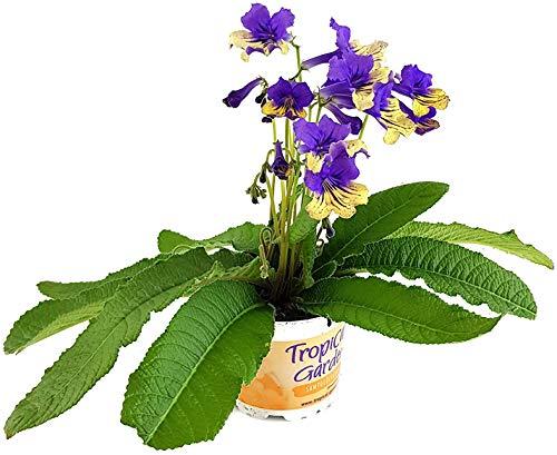 Fangblatt - Streptocarpus Harlequin Blue - afrikanisches Veilchen – Drehfrucht mit zarten Blüten – eine duftende und exotische Zierpflanze