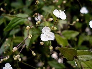 Gibasis Genicula Blooming White Tahitian Bridal Veil Tradescantia Wandering Jew