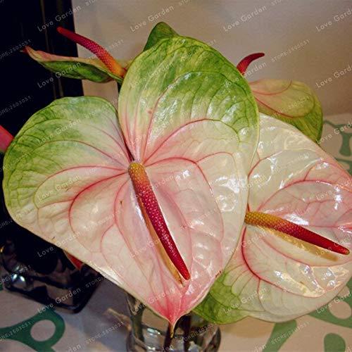 Sumpf frisch 100 Stück Anthurium Blumensamen zum Pflanzen gemischt