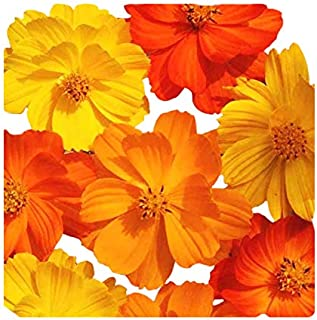 1000 Bright Lights Cosmos Seeds - Long Blooming Period in All Zones - 3' - 5' and up to 7 Feet Tall