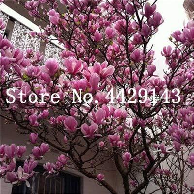 RETS Red Magnolia Bonsai Häufige Magnolia Blumen Bonsai Pot Hausgarten-Anlagen die gesamte Palette der Blumen 50 PC: 4