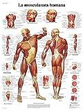 3B Scientific VR3118UU, Póster Anatómico La Musculatura Humana, Tamaño Único, Multicolor