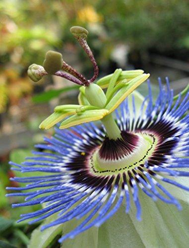 10 Passion Flower Blue Seeds - Passiflora Caerulea (Grown by West Seed Farm)