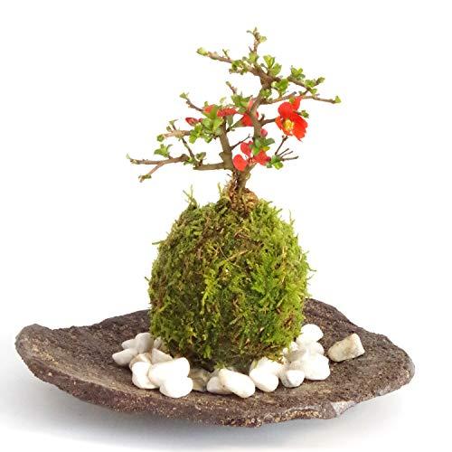 年に数回可憐な花が楽しめます。名前も縁起がいいでしょ?【紅長寿梅(べにちょうじゅばい)の苔玉(こけだま)・くらま岩器・敷石セット】(敷石の色(白石))