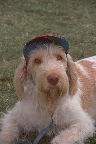659012 Italiaanse spinone in hoed A4 Photo Poster Print 10x8