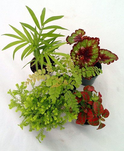 "Jmbamboo-collection-Terrarium & Fairy Garden Plants - 5 Plants in 2"" pots"