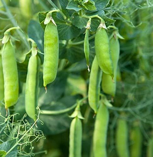 Stringless Sweet Green Snap Pisum Sativum Seeds