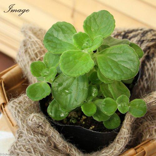 (観葉植物)ハーブ苗 アロマティカス 3号(1ポット) 家庭菜園