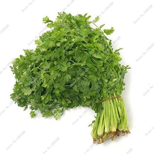 Coriandre Herb graines vertes Healthiy bio aux herbes légumes Graine Rare Bonsaï Facile Growing jardin Plantes ornementales 100 Pcs