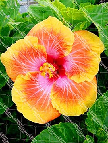 Tomeco 100Pcs Bag Hibiscus Plant We OFFer List price at cheap prices Shrub Seed deciduous
