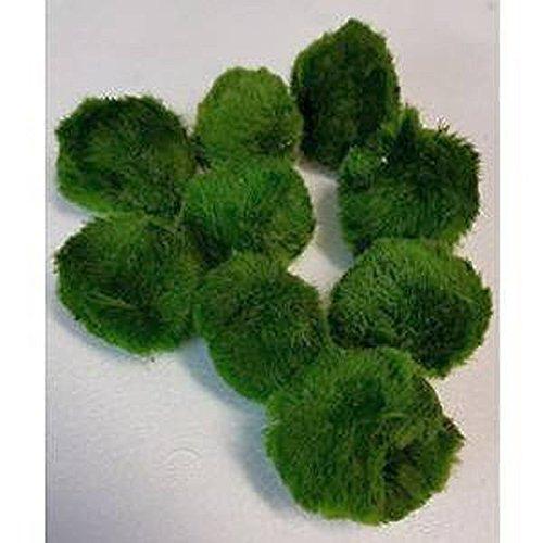 Zierfischtreff 10 Stück 4-6 cm Chladophora Aegagropila - Mooskugel schafft kristallklares Wasser und hilft gegen Algen - biologischer Algenkiller