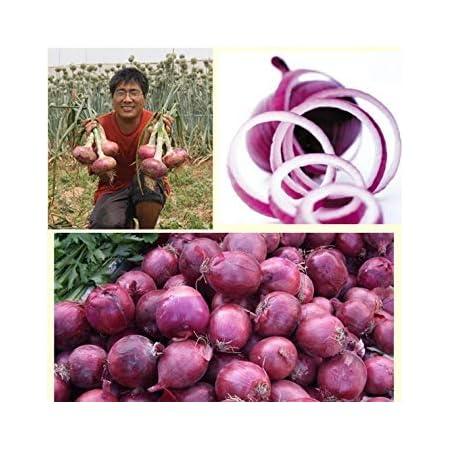 400x oignon rouge noordhollandse bloedrode EKO-oignons Graines Légumes k501