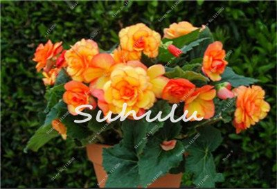 100 Pcs Bonsai Graines Begonia hybrida Voss Fleurs lanternes Begonia Malus Spectabilis Fleurs décoratives Bonsai Jardin chinois 18