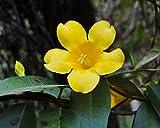 5 Samen Gelsemium sempervirens Carolina Jasmin Rebe Seltene Duftende Blumensamen
