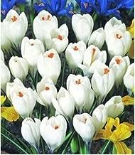 120PCS Hot Sale Many varieties Saffron Seeds Saffron Flower Seeds Saffron Crocus Seeds It Is Not the Saffron Bulbs
