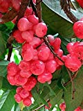 """Best Rose Waters - Golden Hills Farm Delicious Dwarf""""BLOOD RED CHAMPA"""" Rose Review"""