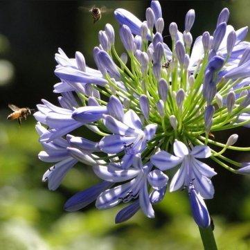 Souked des graines 5pcs Violet Clivia Agapanthus Africanus Seeds