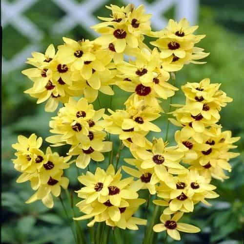 Tomasa Samenhaus- Klebschwertel Blumensamen mehrjährig winterhart Blumen Saatgut Klebschwertel Pflanzen Yedoensis Samen für Balkon, Garten