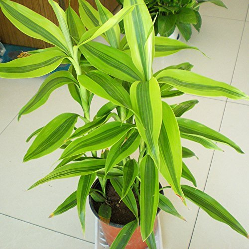 60 pcs Dracaena Graines en pot Balcon Lucky Bamboo Plantes rayonnement Graines Absorption Stem végétales Lucky Bamboo