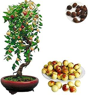 AGROBITS 10 Pcs Jujube Bonsai Chinese Taiwan Big Jujube Bonsai Organic Fruit Tree Bonsai Rare Tropical Fruit Bonsai DIY Home Garden