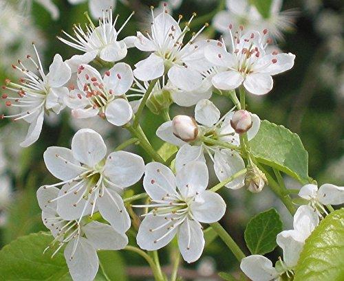 Steinweichsel Weichselkirsche, Felsenkirsche Prunus mahaleb 15 Samen
