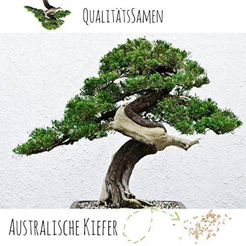 Exotische Bonsai Samen mit hoher Keimrate - Pflanzen Samen Set für deinen eigenen Bonsai Baum (1x Australische Kiefer)