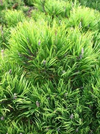 Bergkiefer, Pinus mugo var. mughus Krummholzkiefer 20-30 cm breit im 3 Liter Pflanzcontainer