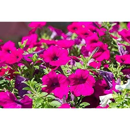 "Petunia colgante, Surfinia""Rubina"" - escarlata-púrpura - semilla"
