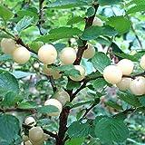 人気果樹!ユスラウメの苗木 白実【品種で選べる果樹苗木 2年生 接木苗 15cmポット 平均樹高:60cm/1個】(ポット植えなのでほぼ年中植付け可能)桜の季節に白~ピンク色の花が咲き、6月頃に実が楽しめます! 酸味が少なくほんのり甘い実は、サクランボに似た味がします。 生食や果実酒として楽しめます。 生長が早く2年目から実がなる事が多いです。 樹はあまり大きくなりませんので、庭木にとても人気です。 耐寒性も強く、剪定もほとんど必要ありませんので、初心者にもオススメです!【自社農場から新鮮苗直送!!】【即出荷/プライム送料込み価格】
