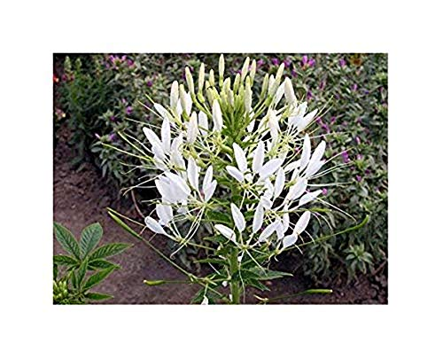 Spinnenblume Helen Campbell - Cleome hassleriana - Blume - 100 Samen