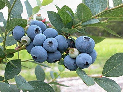 Amerikanische Heidelbeere 15 Samen (Blueberry)