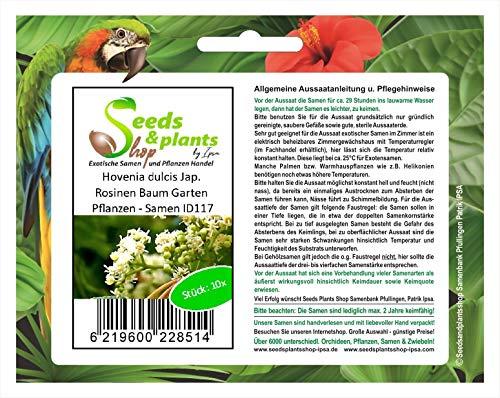 Stk - 10x Hovenia dulcis Jap. Rosinen Baum Garten Pflanzen - Samen ID117 - Seeds Plants Shop Samenbank Pfullingen Patrik Ipsa