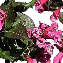 Best variegated weigela bush Reviews