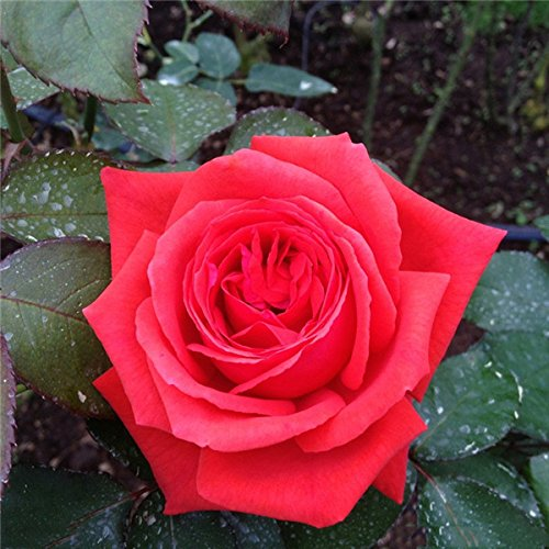 Pots de fleurs jardinières 12 sortes de 50 graines, Rainbow Rose semences belle rose semences Bonsai plantes Semences pour la maison et le jardin