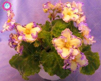 100pcs mezclaron las semillas de color violeta, Mini Semillas violeta africana, Mini-plantas de jardín de flores de color violeta perenne hierba matthiola Incana de semillas 12
