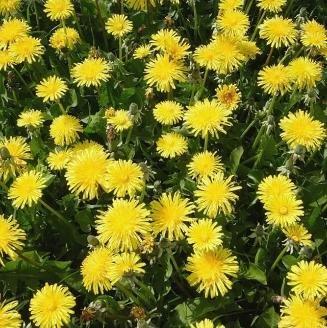Nuts n' Cones Wildflower - Dandelion - 1000 Seeds
